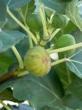 在无花果树的分支的无花果 免版税库存照片