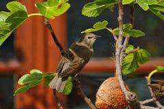 在无花果树的少年椋鸟 免版税库存图片
