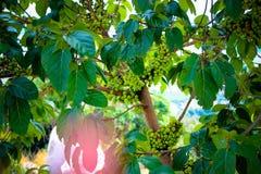 在无花果树的无花果果子 免版税库存照片