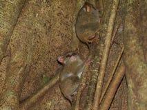 在无花果树的鬼tarsiers 库存照片