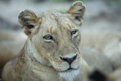 在无言光的雌狮画象 库存图片