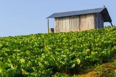 在日出下的圆白菜农场 图库摄影