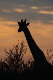 在日出前的长颈鹿 库存图片