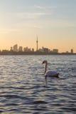 在日出和天鹅的多伦多地平线 免版税库存照片