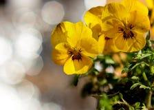 在日出和美好的背景的黄色花 库存图片