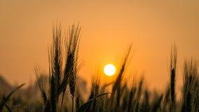 在日出和露水的麦子钉 库存图片