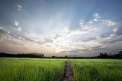 在日出天空背景的一个平安的米领域 免版税图库摄影
