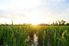 在日出天空背景的一个平安的米领域 免版税库存照片