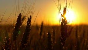 在日出或日落的麦子在风 股票录像