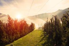 在日出早晨装喷水器浇灌的葡萄园 灌溉系统反对太阳 免版税库存照片