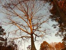 在日出期间的伟大的树 免版税库存图片