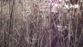 在日出期间的冷淡的草甸 股票视频