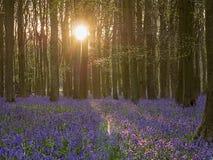 在日出的会开蓝色钟形花的草 库存照片