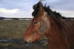 在日出的冰岛马 免版税库存图片