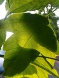 在日出的叶子 库存图片