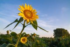 在日出的向日葵 库存图片