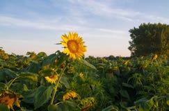 在日出的向日葵 免版税库存照片