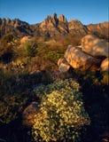 在日出的器官针从杉树落后,器官山,新墨西哥 库存图片