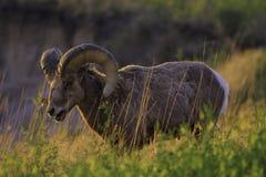 在日出的山绵羊 免版税库存照片
