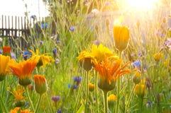 在日出的庭院花 库存图片