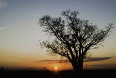 在日出的树剪影在巴西 库存照片