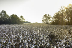 在日出的棉花领域 图库摄影