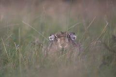 在日出的欧洲棕色野兔画象 图库摄影