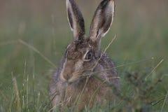 在日出的欧洲棕色野兔画象 免版税库存图片