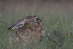 在日出的欧洲棕色野兔画象 库存图片