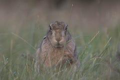 在日出的欧洲棕色野兔画象 免版税图库摄影