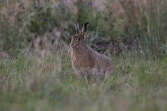 在日出的欧洲棕色野兔画象 库存照片