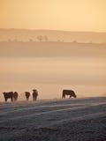 在日出的母牛 库存图片