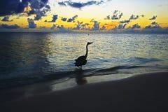 在日出的灰色苍鹭 免版税库存图片
