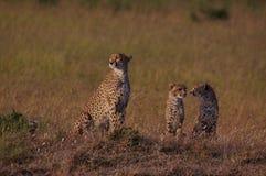 在日出的猎豹家庭 免版税库存图片