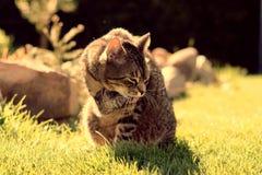 在日出的猫 库存图片