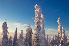 在日出的积雪的黑云杉 免版税库存照片