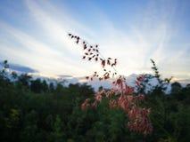 在日出的红色草花 免版税库存图片