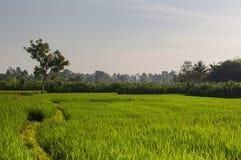 在日出的绿色年轻米领域 Ubud,巴厘岛,印度尼西亚 美好的绿色米领域,自然美丽热带 免版税库存照片
