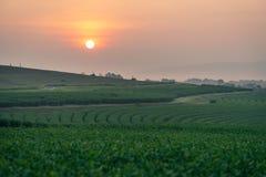 在日出的绿茶曲线,清莱省,泰国 免版税库存照片