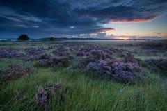 在日出的美丽的开花的石南花 图库摄影
