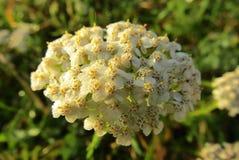 在日出的美丽的白色夏天花 库存照片