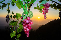 在日出的葡萄 库存图片