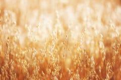 在日出的谷物庄稼 图库摄影
