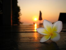 在日出的赤素馨花花在一个木甲板 免版税库存图片