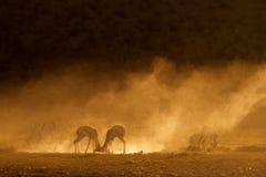在日出的跳羚 库存照片