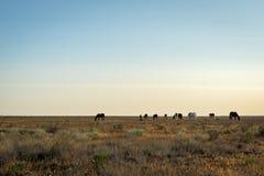 在日出的野马 图库摄影