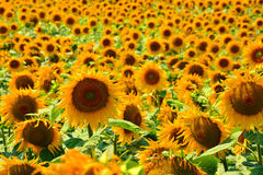 在日出的金黄反射-向日葵和蜂 免版税库存图片