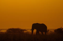 在日出的非洲大象 库存图片