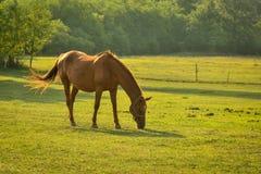在日出的马 免版税库存图片