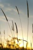 在日出的高草 免版税图库摄影